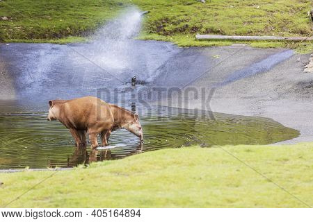 Beautiful Landscape View Of Two Brown Tapirs In Water. Wild Animals Concept.