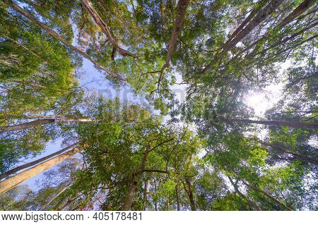 Giant Cedar Trees In Forest. Tall Trees At Arashiyama In Travel Holidays Vacation Trip Outdoors In J