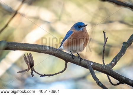 An Eastern Bluebird (sialia Sialis) Perches On A Limb. Raleigh, North Carolina.