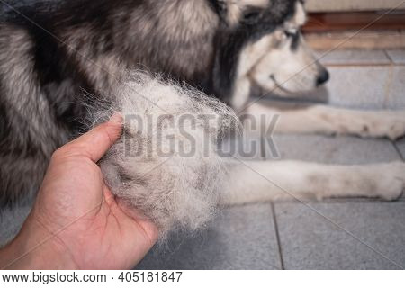 The Dog's Hair Is On Hand. Dogs That Are In Poor Health Cause A Lot Of Hair Loss. The Dog's Fur Is S