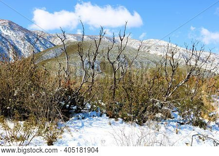 Burnt Chaparral Plants Caused From A Past Wildfire On The High Desert Plateau Surrounded By Snow Wit