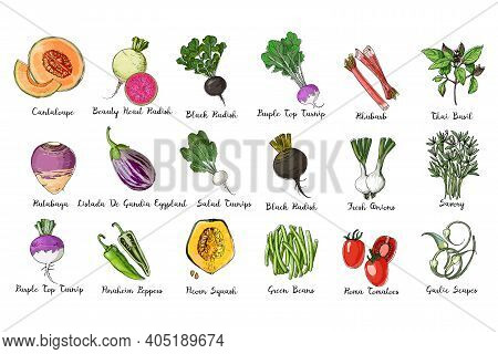 Fresh Food. Set Of Colored Vegetables. Acorn Squash, Cantaloupe, Eggplant, Salad Turnips, Purple Top