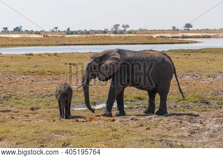 African Elephant Mother Take Care About Small Baby In Chobe River National Park, Botswana. Africa Sa