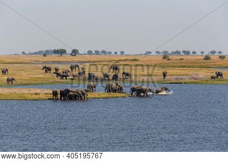 African Elephant Bathing In Chobe River National Park, Botswana. Africa Safari Wildlife