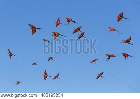 Flying Flock Of Bird Northern Carmine Bee-eater In Large Nesting Colony Of (merops Nubicoides) On Ba