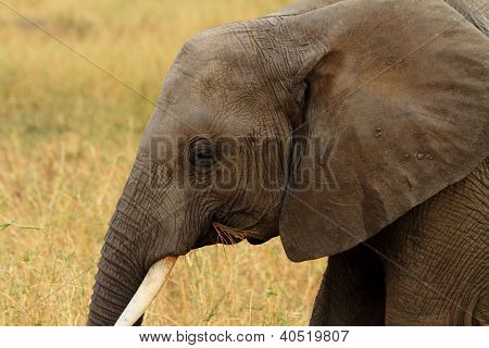 Head shot of an African Bush Elephant (Loxodonta africana) chewing on some grass poster
