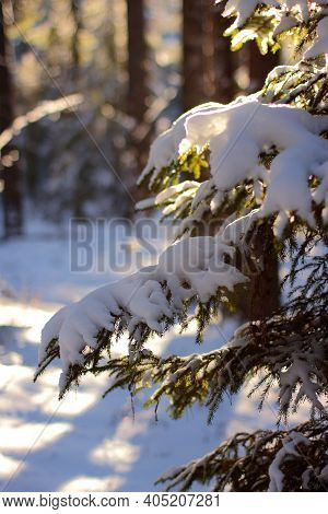 Christmas Fir branch in snow close up. Sun shine through the snow fir branch in forest. Christmas mood. Beautiful winter landscape in Russia. Christmas snow tree