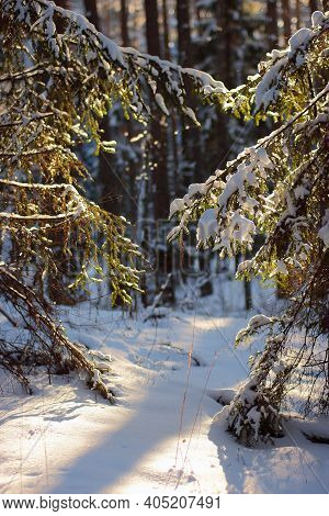 Christmas Fir branch in snow. Snow fir trees in winter forest. Sun shine through the snow fir branch. Path in the woods. Trail in winter forest. Winter landscape in Russia
