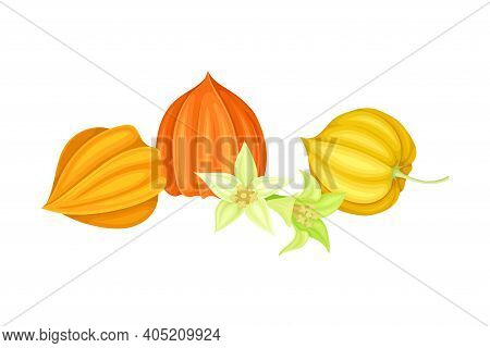 Indian Ginseng Or Physalis Papery Husk Or Calyx Enclosing Small Orange Fruit And Bell-shaped Flowers