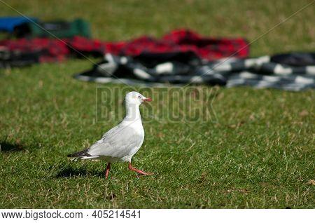Red Billed Gull Larus Novaehollandiae Scopulinus Walking. Auckland Domain. Auckland. North Island. N