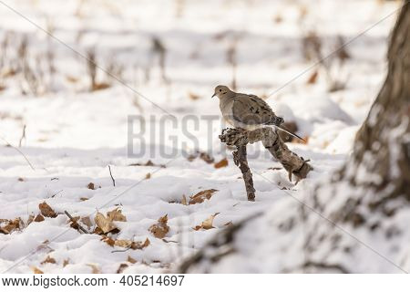 The Mourning Dove - Zenaida Macroura In Snowy Forest