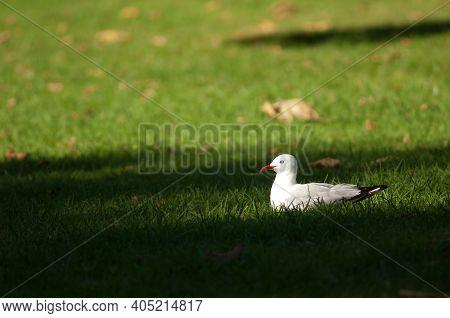 Red-billed Gull Chroicocephalus Novaehollandiae Scopulinus Resting. Auckland Domain. Auckland. North