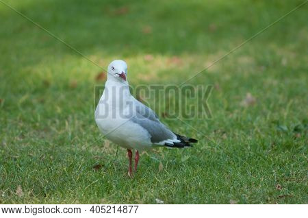 Red-billed Gull Chroicocephalus Novaehollandiae Scopulinus. Auckland Domain. Auckland. North Island.