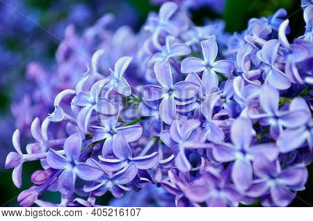Spring flower background, spring lilac flowers. Lilac flowers in blossom, lilac flowers spring background. Soft filter and pastel tones applied, spring flower blossom, spring flower landscape
