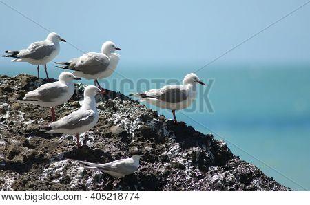 Red-billed Gulls Chroicocephalus Novaehollandiae Scopulinus And White-fronted Tern Sterna Striata. C
