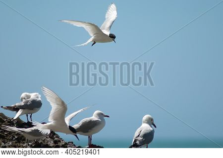 White-fronted Terns Sterna Striata And Red-billed Gulls Chroicocephalus Novaehollandiae Scopulinus.