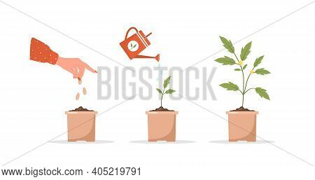Phases Seedling Growing In Pot. Stages Of Plant Growth From Sprout To Vegetable. Vector Illustration