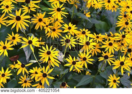 Amazing Autumnal Background Of Very Bright Yellow Black-eyed Susan (rudbeckia Hirta) Flowers Growing