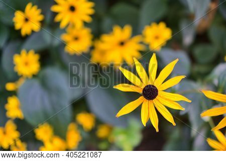 Beautiful Macro View Of Very Bright And Colorful Autumn Black-eyed Susan (rudbeckia Hirta) Flowers G