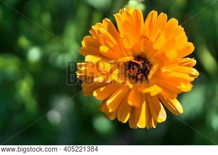 Amazing Autumnal Macro View Yellow Chrysanthemums Flower Symbolizing Neglected Love Or Sorrow. Seen