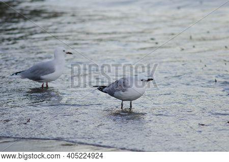 Red-billed Gulls Chroicocephalus Novaehollandiae Scopulinus. Juvenile In The Foreground. Oban. Stewa