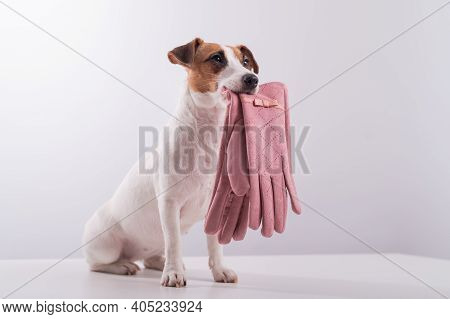 Obedient Smart Dog Holds Pink Female Gloves On A White Background. Copy Space