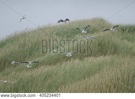 Red-billed Gulls Chroicocephalus Novaehollandiae Scopulinus. Mason Bay. Stewart Island. Rakiura Nati