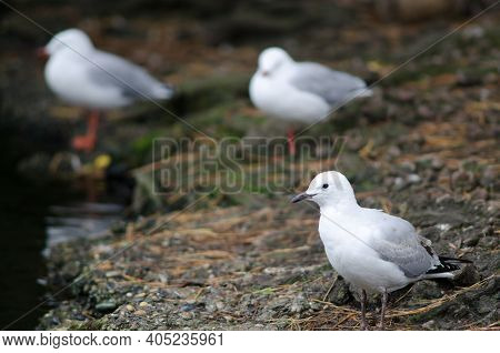 Red-billed Gull Chroicocephalus Novaehollandiae Scopulinus. Juvenile. Queens Park. Invercagill. Sout