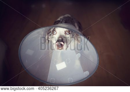 Louisiana Leopard Dog With E-collar, Pet Cone, Safety Collar, After Surgery Sitting On The Wooden Fl