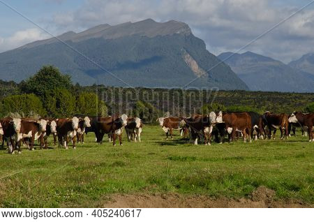 Herd Of Cows Bos Taurus. Southland. South Island. New Zealand.