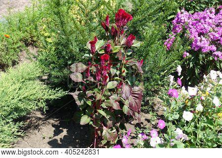 Crimson Red Flowers Of Celosia Argentea Var. Cristata In July