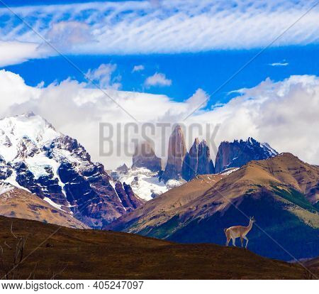 Guanaco is a wild humpbacked camel that lives in South America. The amazing park of Torres del Paine. Famous cliffs among clouds and glaciers. The concept of extreme tourism and photo tourism