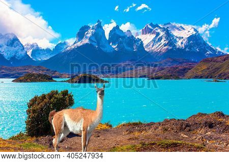 Magnificent guanaco with thick hair grazes on the shore. Huge lake with bright azure water from melting glaciers. Picturesque lake Pehoe in the Patagonian Andes. Travel to Chile