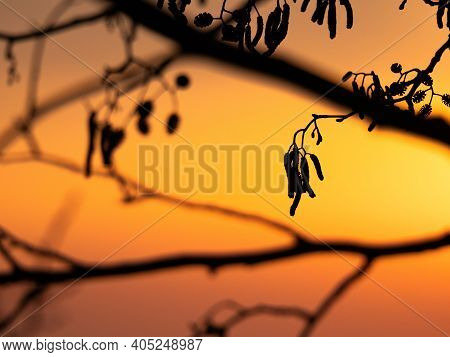 Silhouettes Of Alder Branches At Sunrise. Nature Background Series