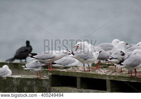Red-billed Gulls Chroicocephalus Novaehollandiae Scopulinus. Otago Peninsula. Otago. South Island. N