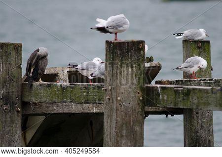 Spotted Shag Phalacrocorax Punctatus And Red-billed Gulls Chroicocephalus Novaehollandiae Scopulinus