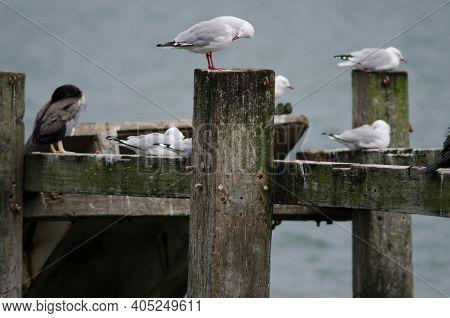 Red-billed Gull Chroicocephalus Novaehollandiae Scopulinus Preening. Otago Peninsula. Otago. South I