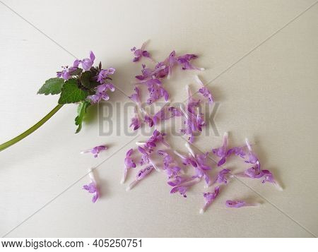 Edible Flowers From Purple Deadnettle, Lamium Purpureum