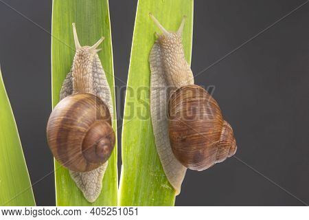 Helix Pomatia. Grape Snail Crawling On Green Leaves. Mollusc And Invertebrate. Delicacy Meat And Gou