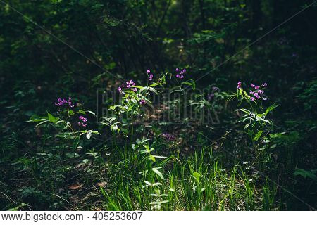 Many Purple Flowering Lathyrus Vernus Close-up. Blooming Beautiful Small Violet Florets On Green Flo
