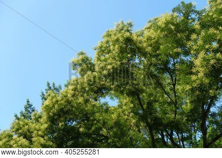 White Flowers In The Leafage Of Sophora Japonica Tree Against Blue Sky In August