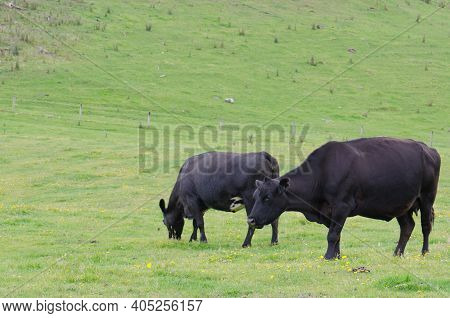 Cows Bos Primigenius Taurus. Otago Peninsula. Otago. South Island. New Zealand.