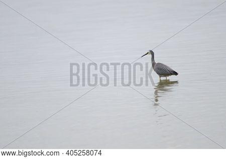 White-faced Heron Egretta Novaehollandiae. Hoopers Inlet. Otago Peninsula. Otago. South Island. New