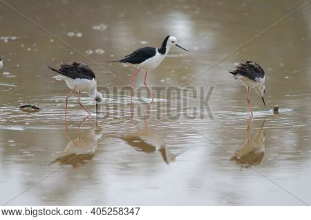 Pied Stilts Himantopus Leucocephalus. Two Juveniles And One Adult. Hoopers Inlet. Otago Peninsula. O