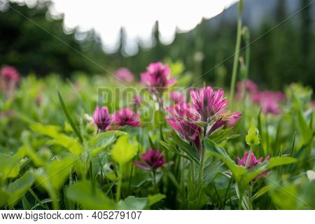 Pink Scarlet Paintbrush In Focus In Front Of Blurry Wildflower Field In Mount Rainier National Park