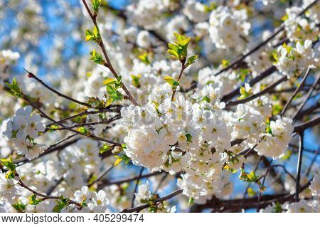 White Apple Blossom In Morning Sunlight. Beautiful Nature Background In Springtime. Tender Flowers O