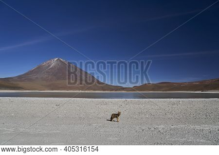 Andean Fox In Front Of The Laguna Verde A Beautiful Mountain Lake At High Altitude In The Arid Lands
