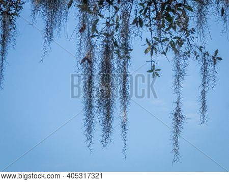 Pattern Of Spanish Moss Hanging From Tree In Sky