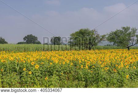 Pattadakai, Karnataka, India - November 7, 2013: Combination Of Sugar Cane And Sunflower Fields Unde
