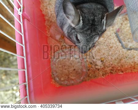 Little Cute Chinchilla Eating Food In A Cage. Gray Fur And Black Protruding Eyes In The Animal. Phot
